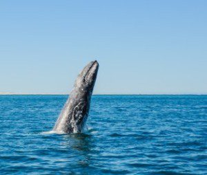 gray-whale-1