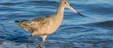 Go birding along the coast with Yolo Audubon