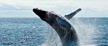Whale Migration Bodega Bay